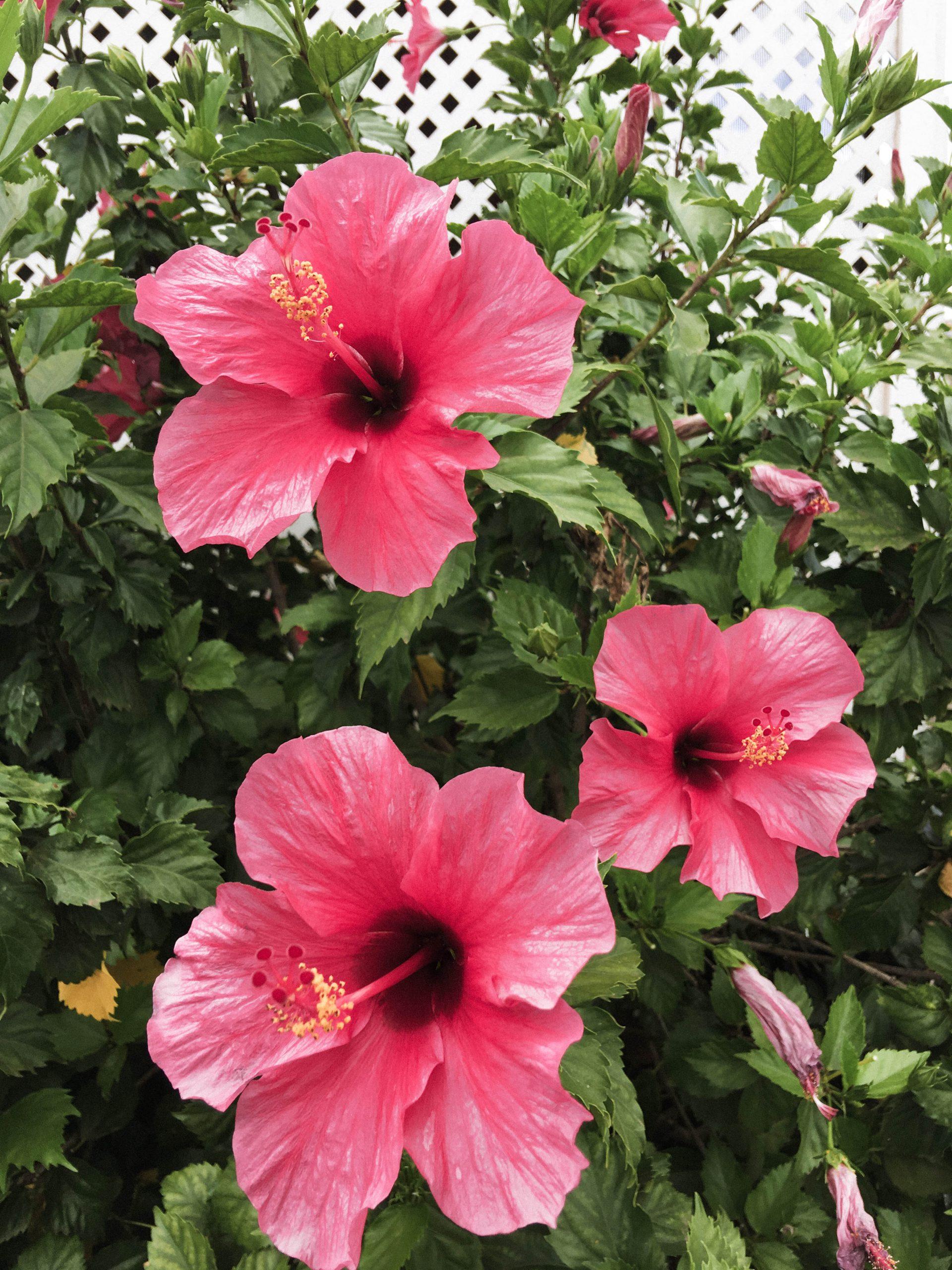 Pink Hawaiian flowers, Kauai, Hawaii