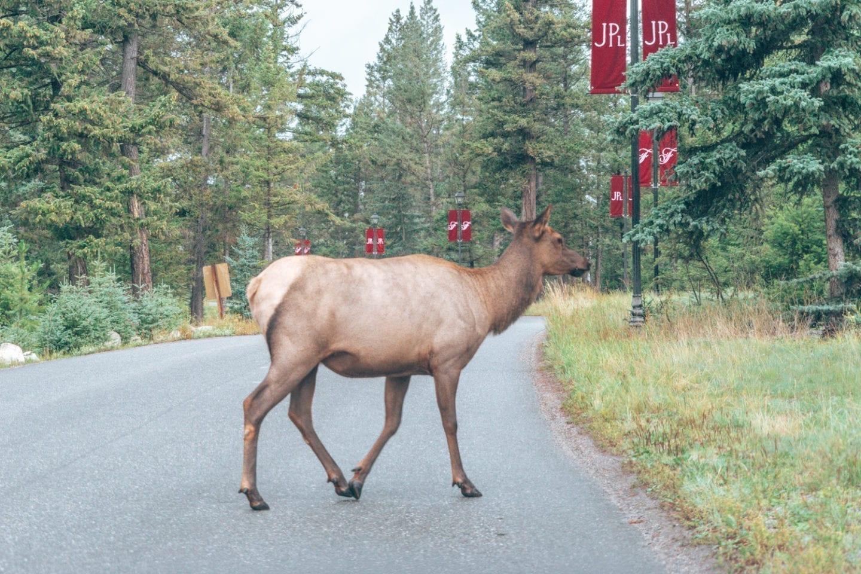 Fairmont Jasper Park Lodge Elk, Alberta