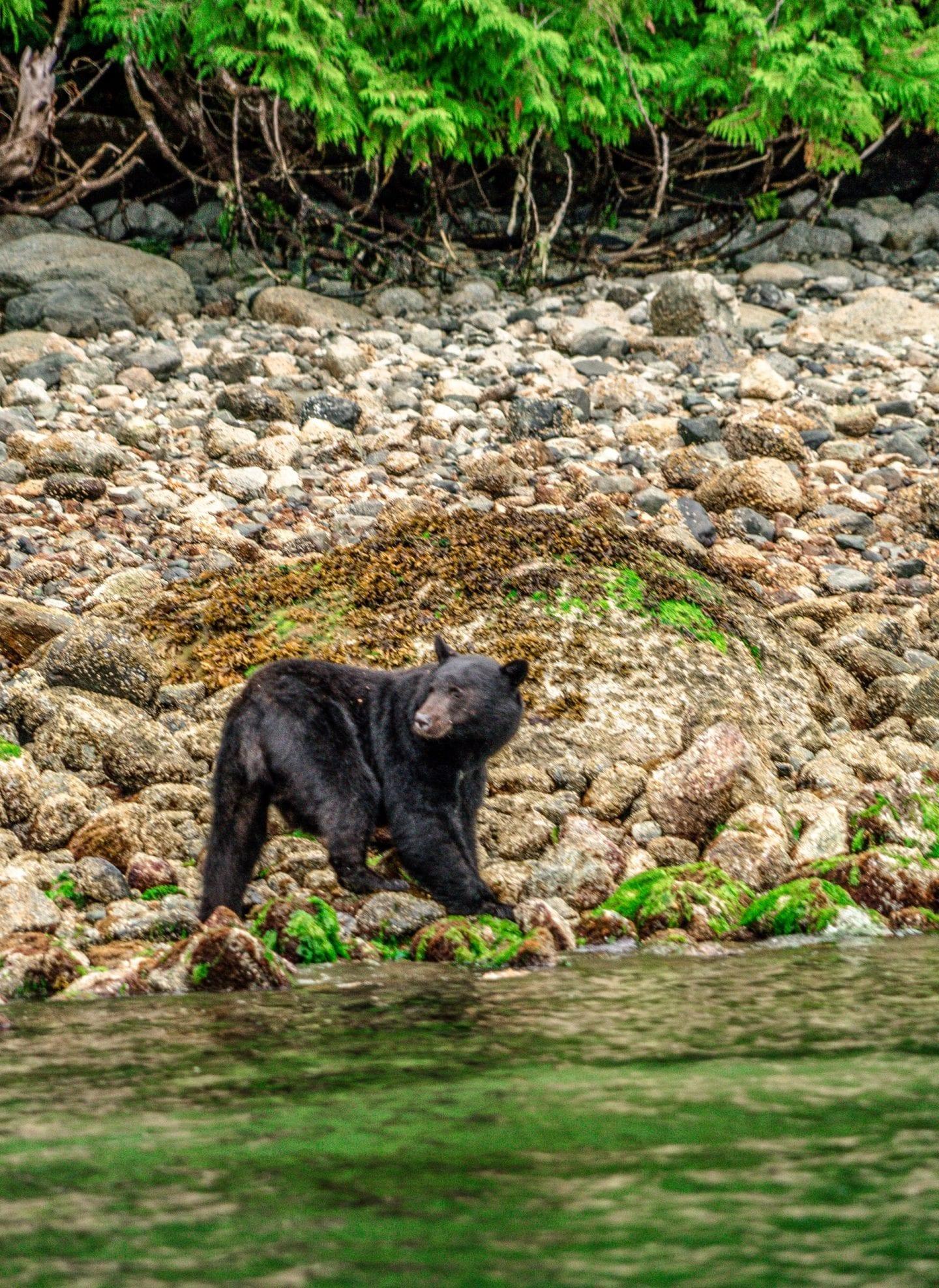 Bear watching tour, Clayoquot Wild Tours, Tofino, BC Canada