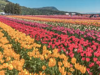 Abbotsford Tulip Festival, British Columbia