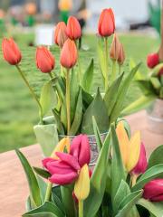 Chilliwack Tulip Festival, Tulips of the Valley, British Columbia